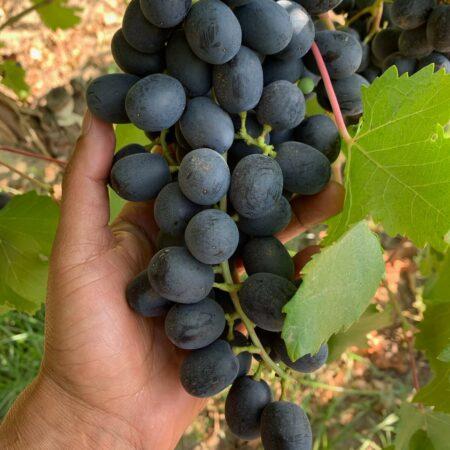 grapes-2021-SJV-3