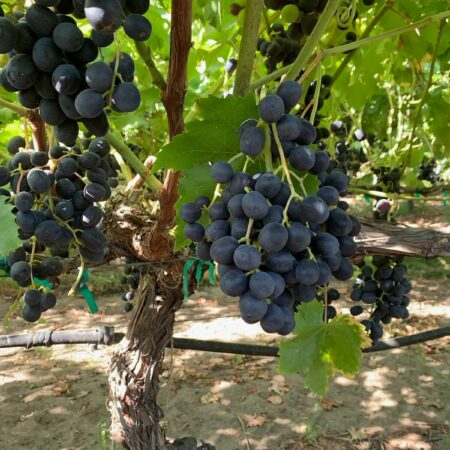 grapes-2021-SJV-4